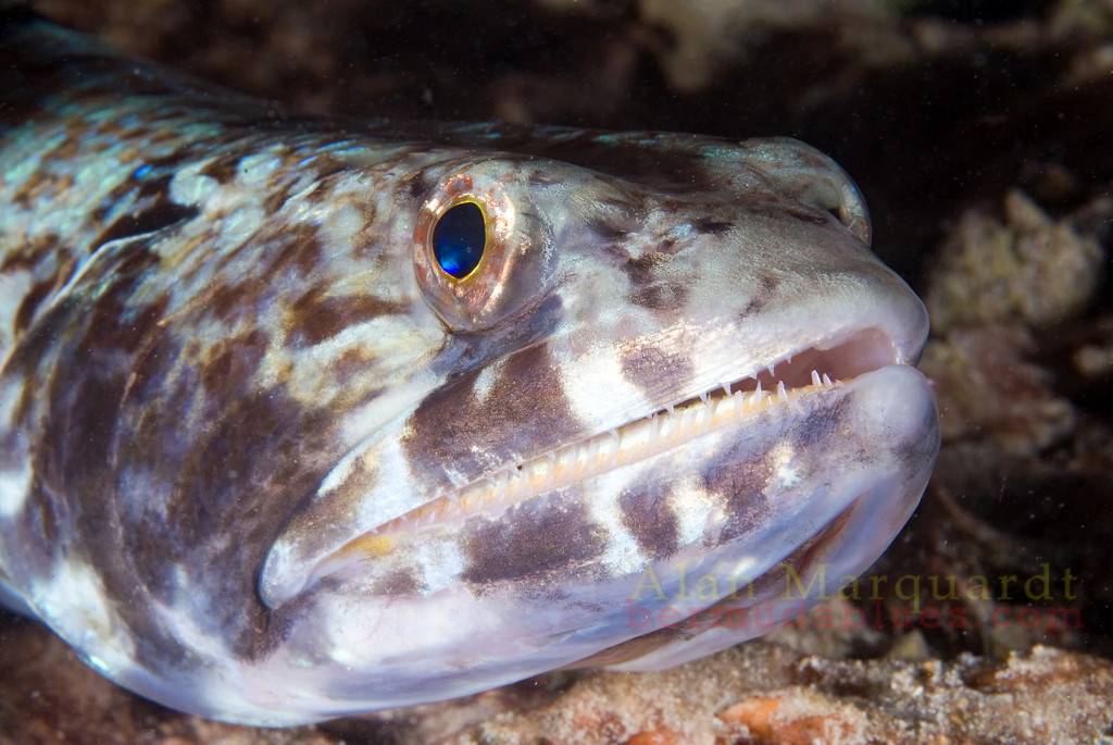 Lizard fish on a night dive. Flats bridge, Bermuda, 2009.