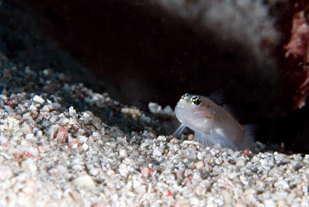 A small sand goby. Eastern Blue Cut, Bermuda. 2009.