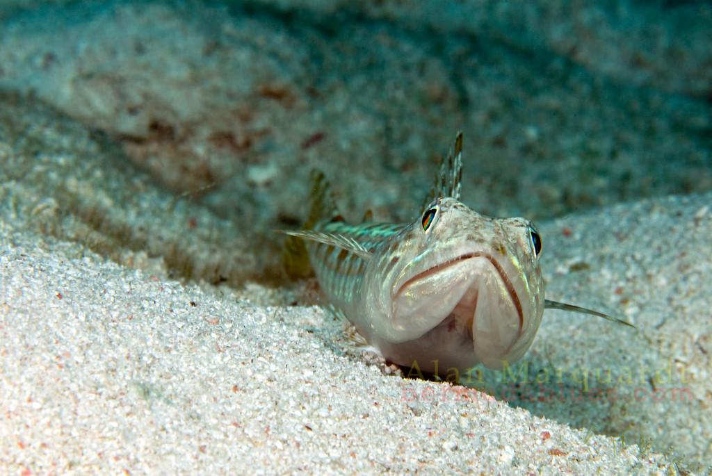 Lizard fish on the sandy bottom.<br /> Eastern Blue Cut, Bermuda, 2009.