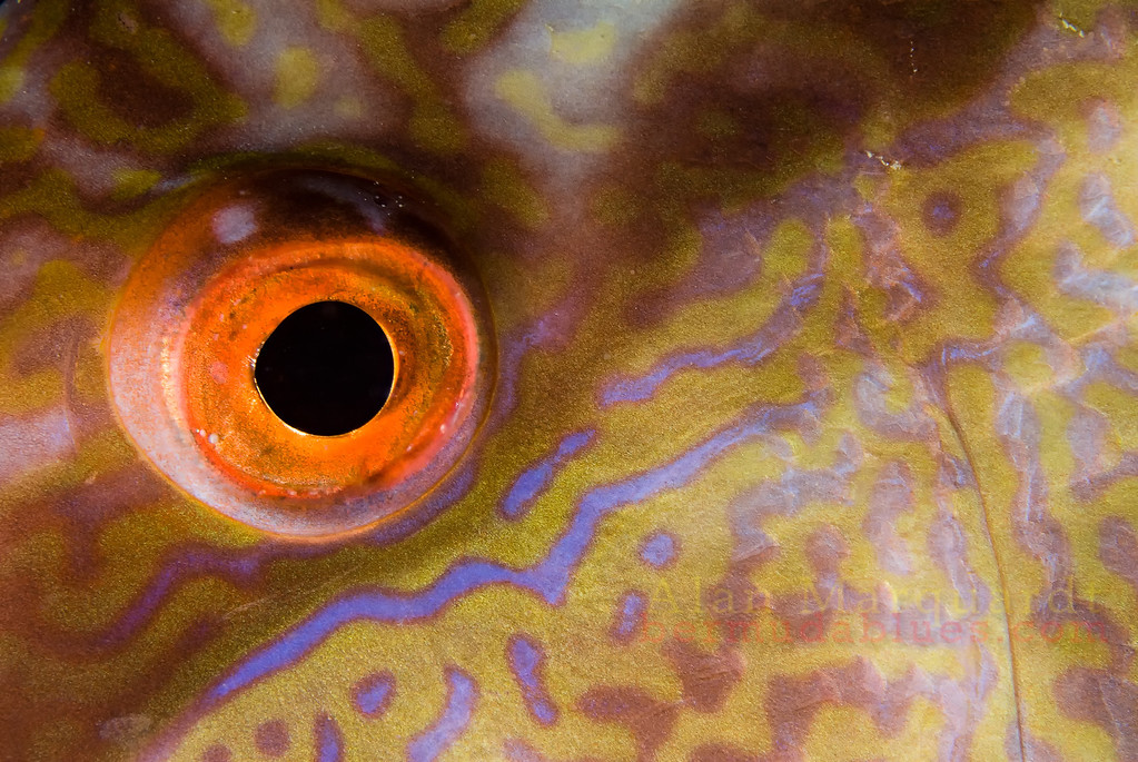 The eye of a Hogfish. Night dive, Flats Bridge,Bermuda, 2009.