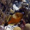 Whitespotted Filefish, South shore, Bermuda.