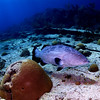 Black Grouper and Brain Coral, Bermuda.