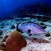 Black Grouper and Brain Coral, Bermuda.