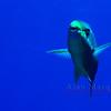 Queen Parrotfish. Southwest Breaker, Bermuda