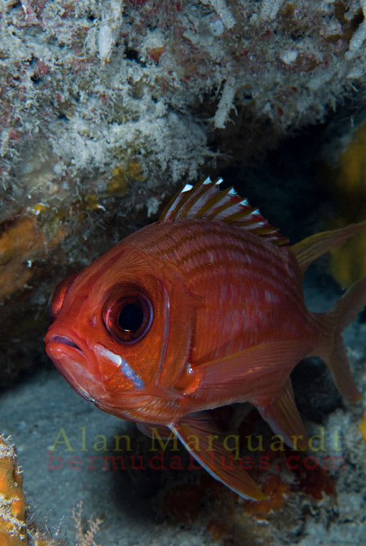 I sat with this Squirrelfish for over 20 minutes to get this shot of him.<br /> Eastern Blue cut, Bermuda, 2009.