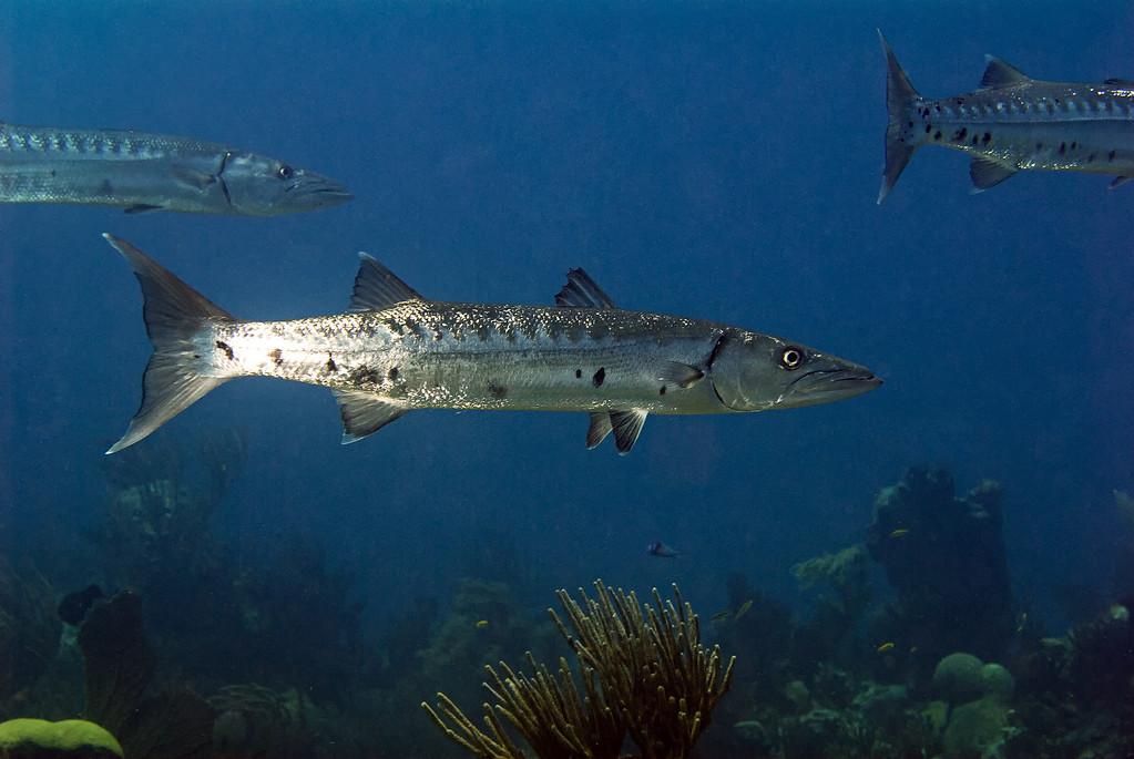 Three baracudas, Suothwest Breaker, Bermuda. 2009