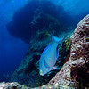 Queen Parrotfish at Southwest Breaker. Bermuda. 2006.  16 X 26 inches.<br /> Limited to 10 prints only.   $500.00 unframed.