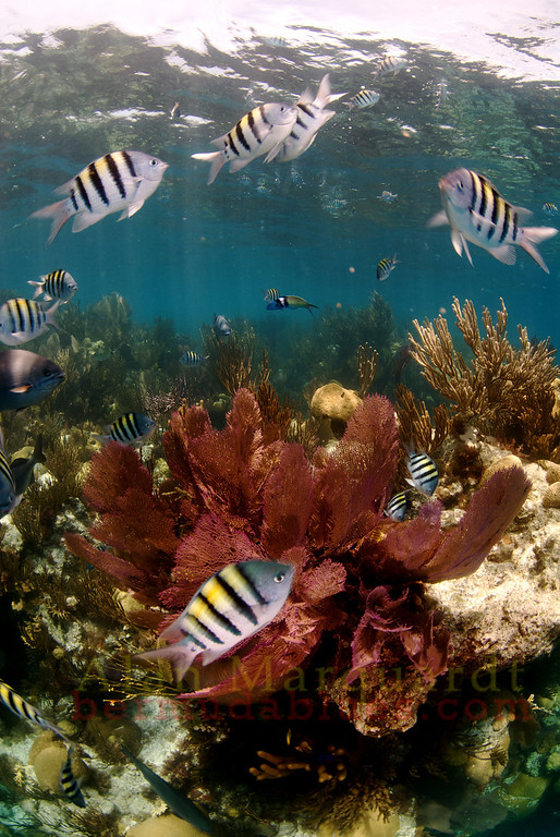 Reef fish swim above Eastern Blue Cut, Bermuda