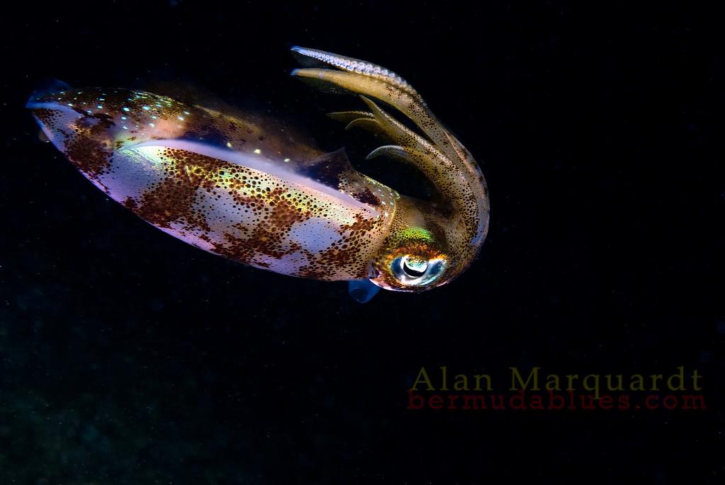 Reef squid. Night dive, Flats bridge, Bermuda, 2009