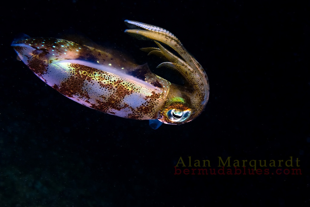 Reef squid. Night dive, Flats bridge, Bermuda, 2009