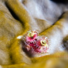 Christmas tree worm.<br /> South West Breaker, Bermuda, 2009.