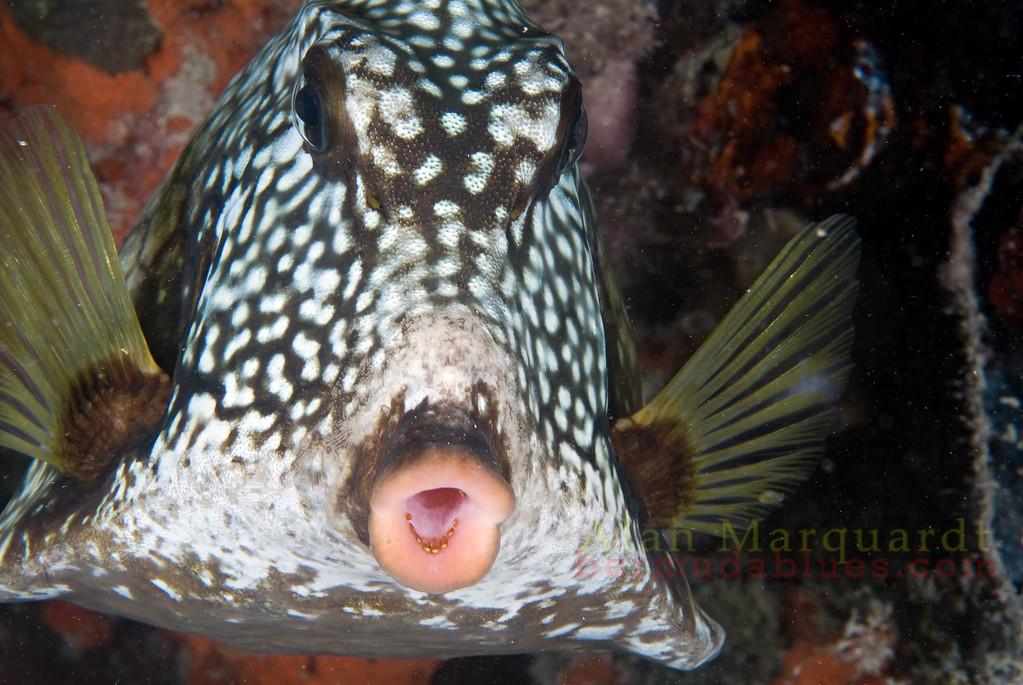 Smooth Trunkfish. Night dive, Flats Bridge, Bermuda, 2009.