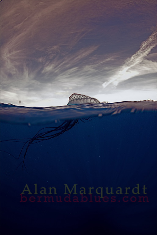 Man of war in the deep blue