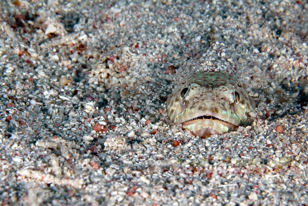 Lizard fish in the sandy bottom.<br /> Southwest Breaker, Bermuda, 2009.