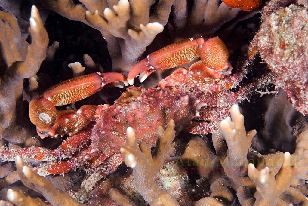 Crab in the coral. Night dive, Flatts Bridge, Bermuda. 2009.