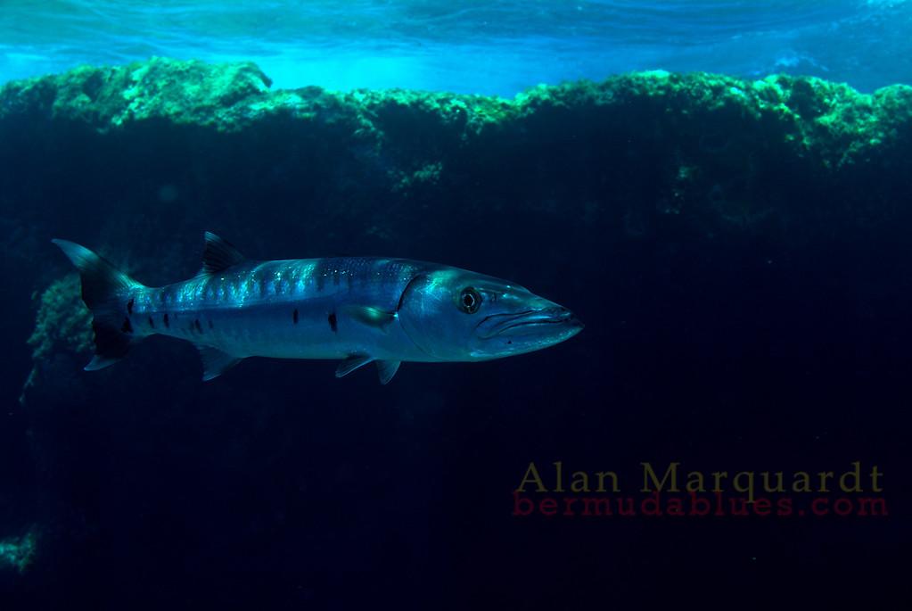 Great Barracuda. Soutwest Breaker, Bermuda
