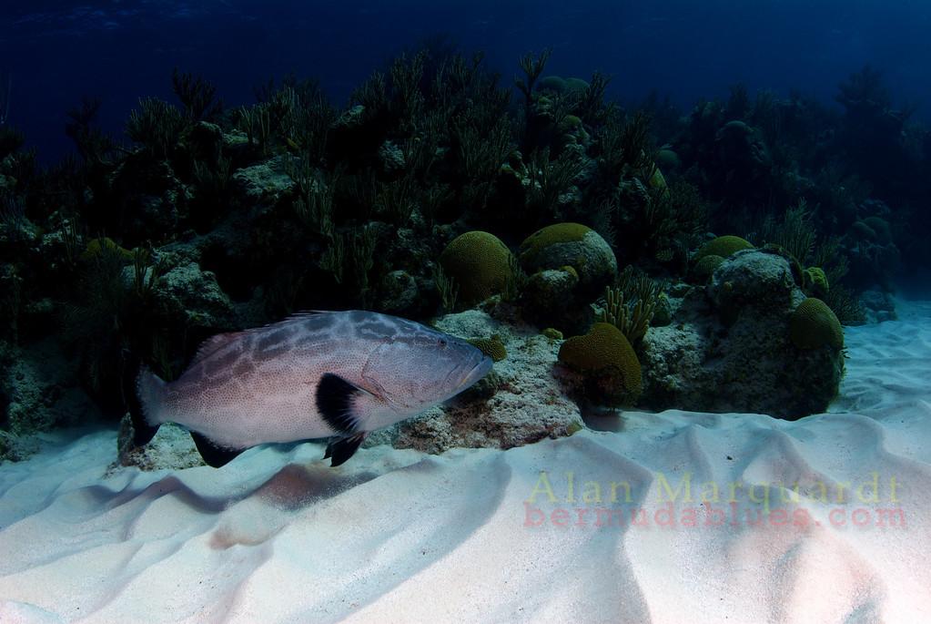 Black Grouper and reef. Bermuda