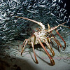 Spiney Lobster, Eastern Blue Cut, Bermuda. 2007 24 X 16 inches.<br /> $500.00 unframed.
