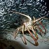 Spiney Lobster, Eastern Blue Cut, Bermuda. 2007 24 X 16 inches.<br /> $500.00 unframed.
