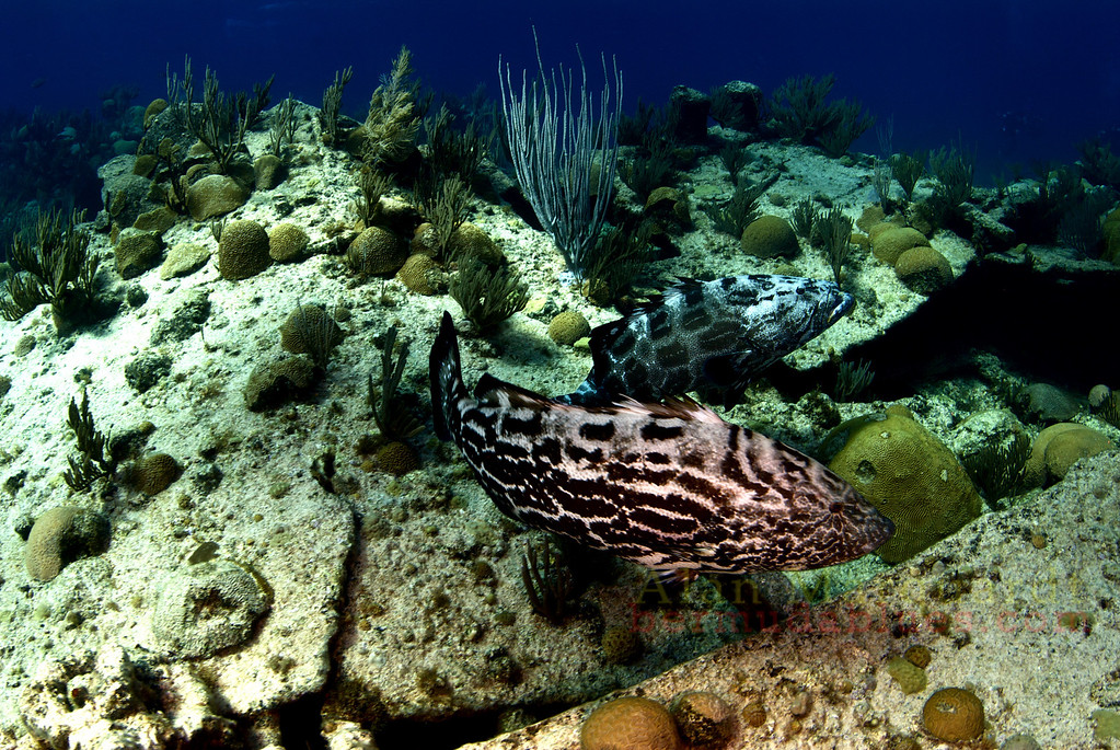 Pair of Black Groupers. Bermuda