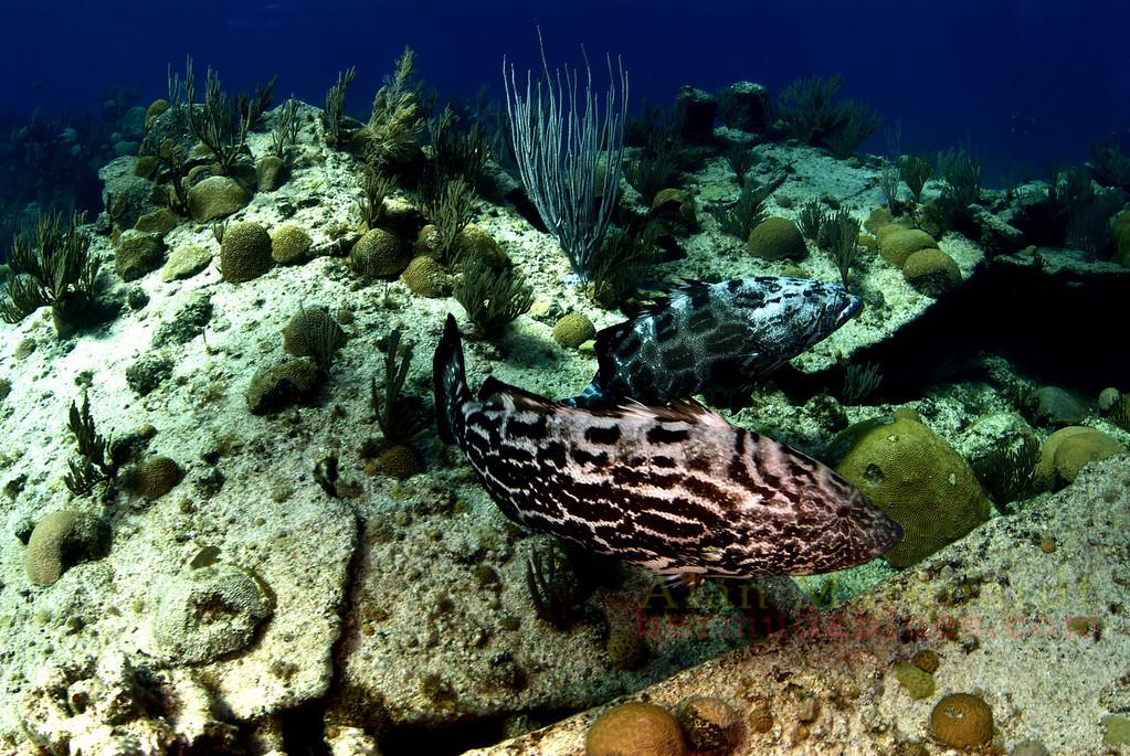 Pair of Black Groupers. Bermuda