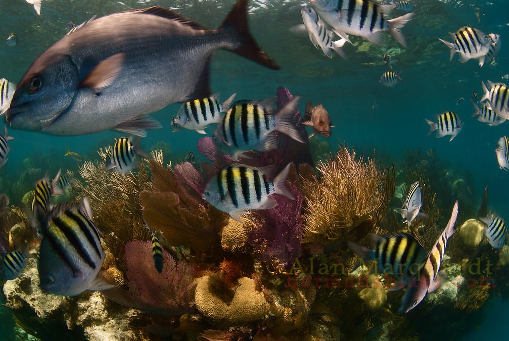 The fish at Eastern Blue Cut, Bermuda