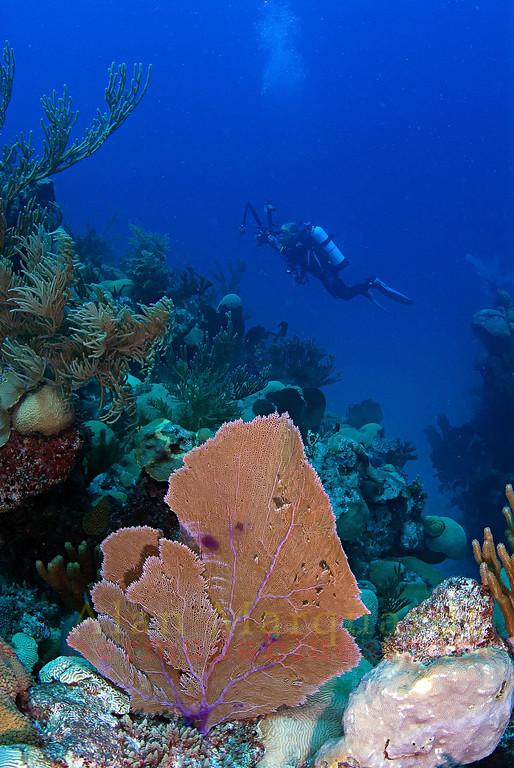 Sea Fan, South shore, Bermuda. 2009