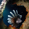Lionfish have made there way to Bermuda. the wreck of the Dredger, North shore,Bermuda.
