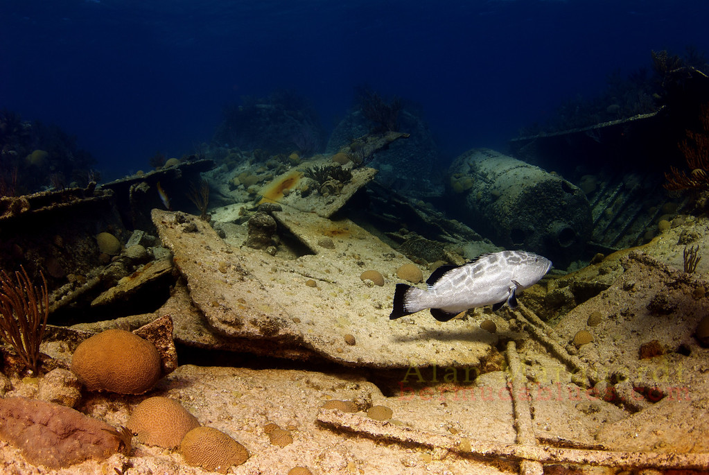 The steam boilers and a rockfish (Black Grouper) on the shipwreck Lartington, 1879.