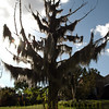 The ghost tree, Paget Bermuda.