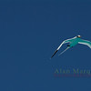 Bermuda Longtail sea bird, Bermuda.