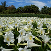 The lilies at easter, Bermuda