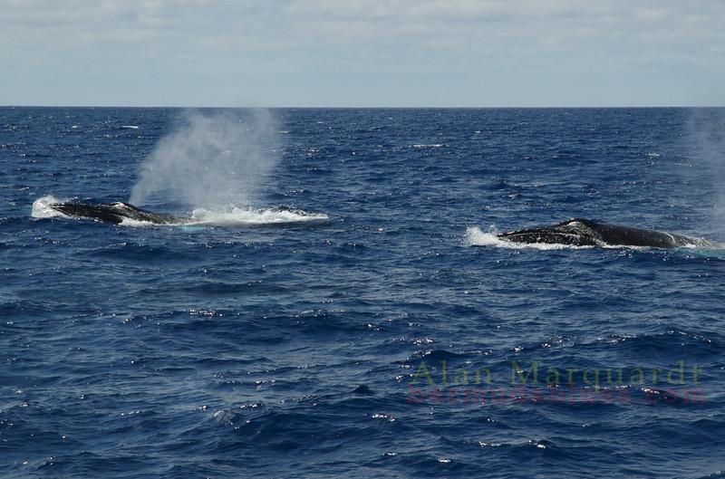 Humpback whales, South shore, Bermuda.