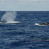 Humpback whales, South shore, Bermuda.
