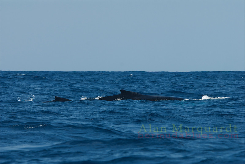 Mother and a calf, Humpback whales, South shore, Bermuda.