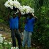 Men harvest Easter lilies, Devonshire, Bermuda.