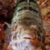 Lizzard fish, Bermuda.