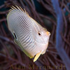 Four eye Butterfly fish 2, Bermuda