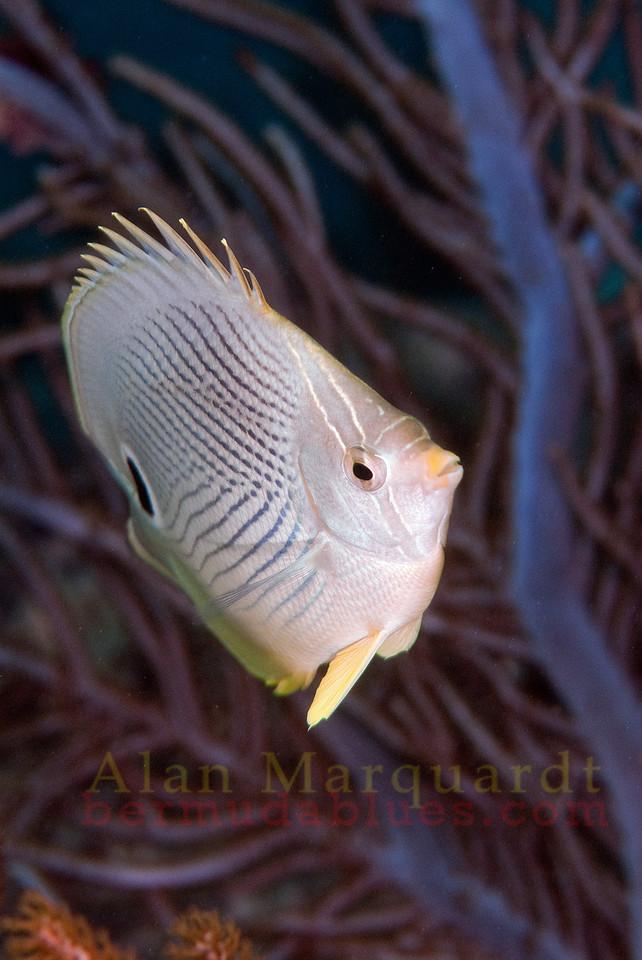 Four eye Butterfly fish 2, Bermuda