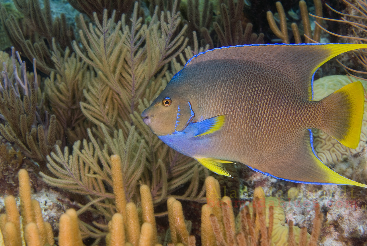 Blue Angelfish, Bermuda.