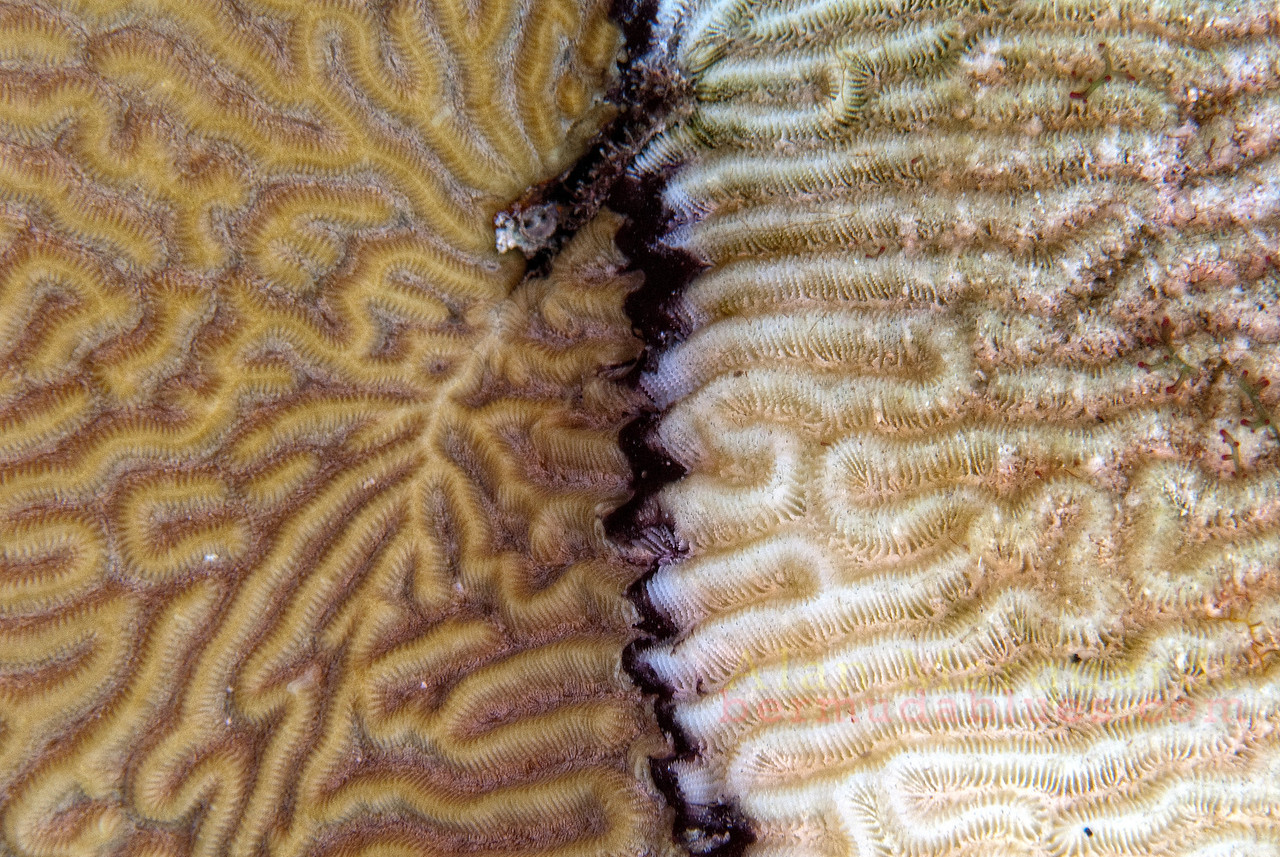 Black ring disease on brain coral, Bermuda.
