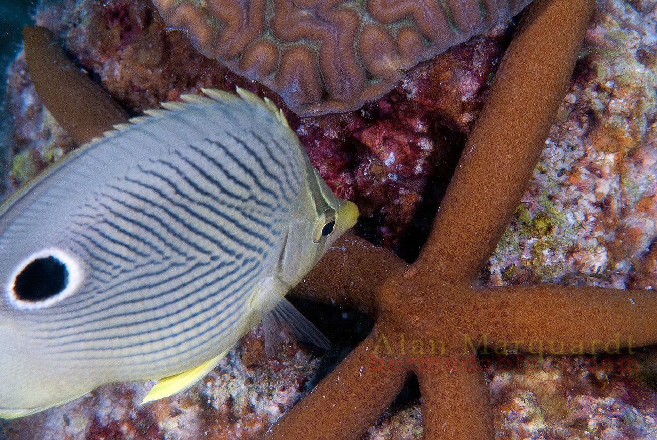 Four eyed Butterfly fish, Bermuda.