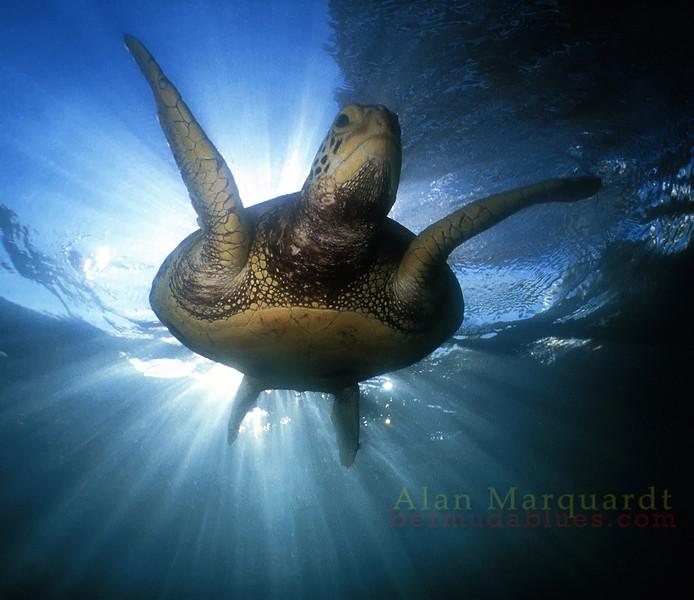 Green Turtle, Bermuda