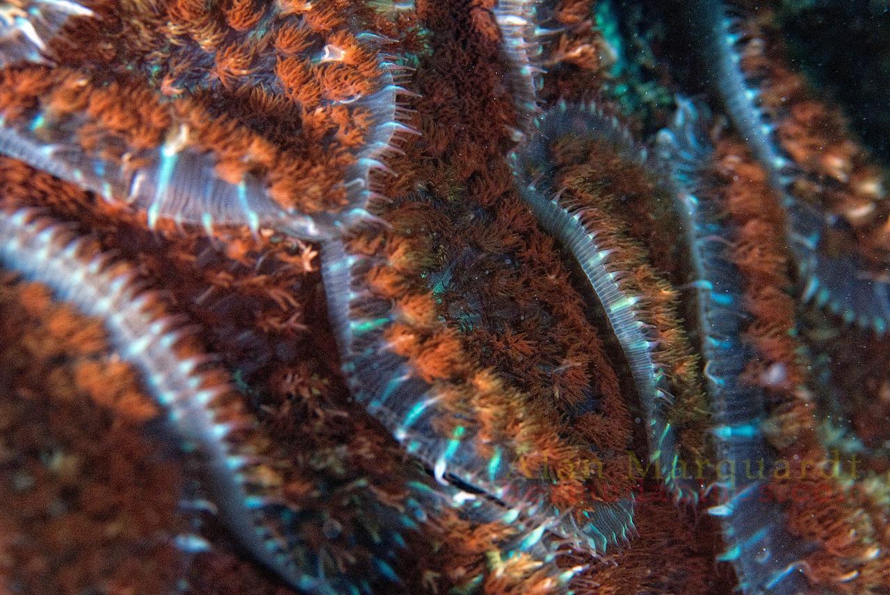 Carpet Anemone 1, Bermuda.