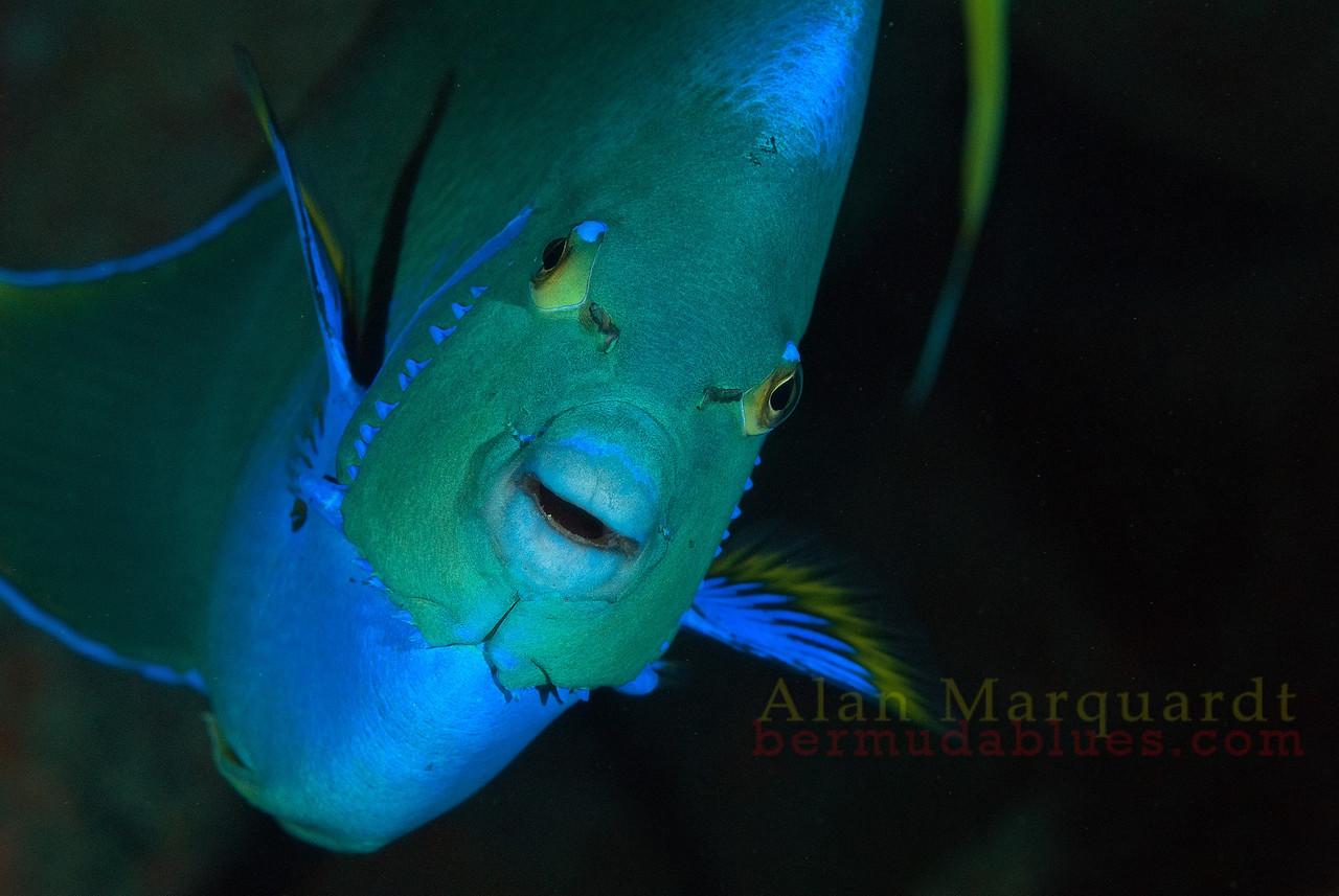 Blue Angel fish 2, Bermuda.