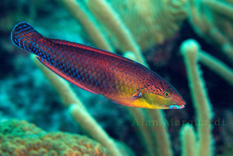 Int. Yellowhead Wrasse, Bermuda.