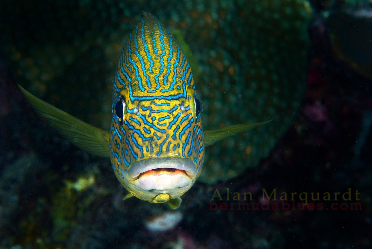 Blue striped Grunt, Bermuda.