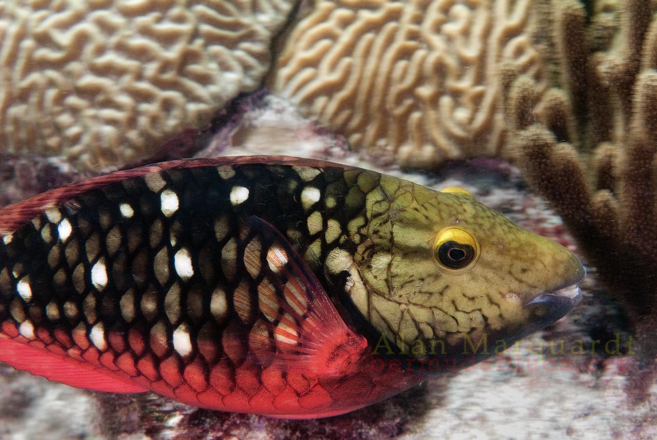 Stop light Parrot fish, Bermuda.