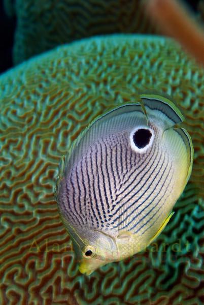 Four eye Butterfly fish, Bermuda.