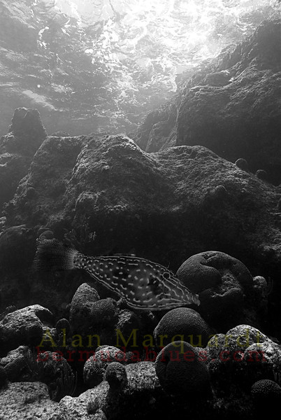 Scrawled filefish and reef. South shore, Bermuda